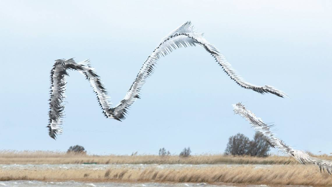 A composite image by Xavi Bou showing the flight path of gulls creating a wave shape in the air.