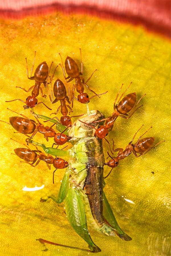 Seven carpenter ants on a yellow leaf scurry around a grasshopper's body, trying to carry it away.