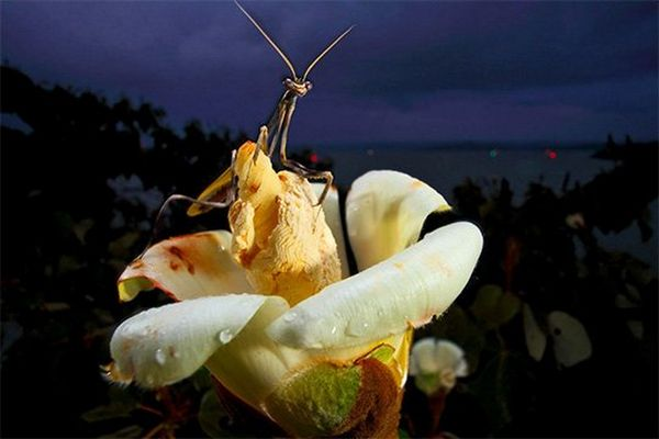 A praying mantis perches on the raised centre of a large white tropical flower.