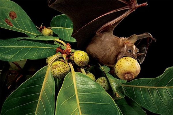 A fruit bat hangs off a fruit tree, its mouth wide open as it eats a pear-like fruit.