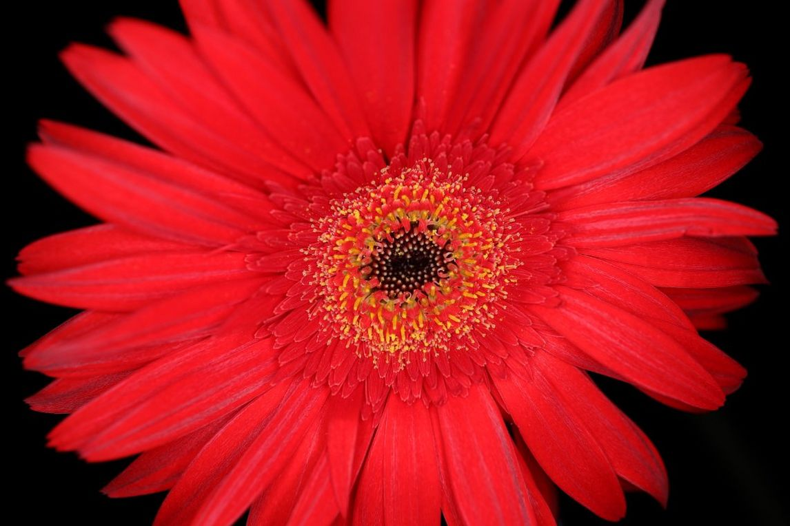 Close up of a red flower shot on Canon EOS R & RF 35mm F1.8 MACRO IS STM