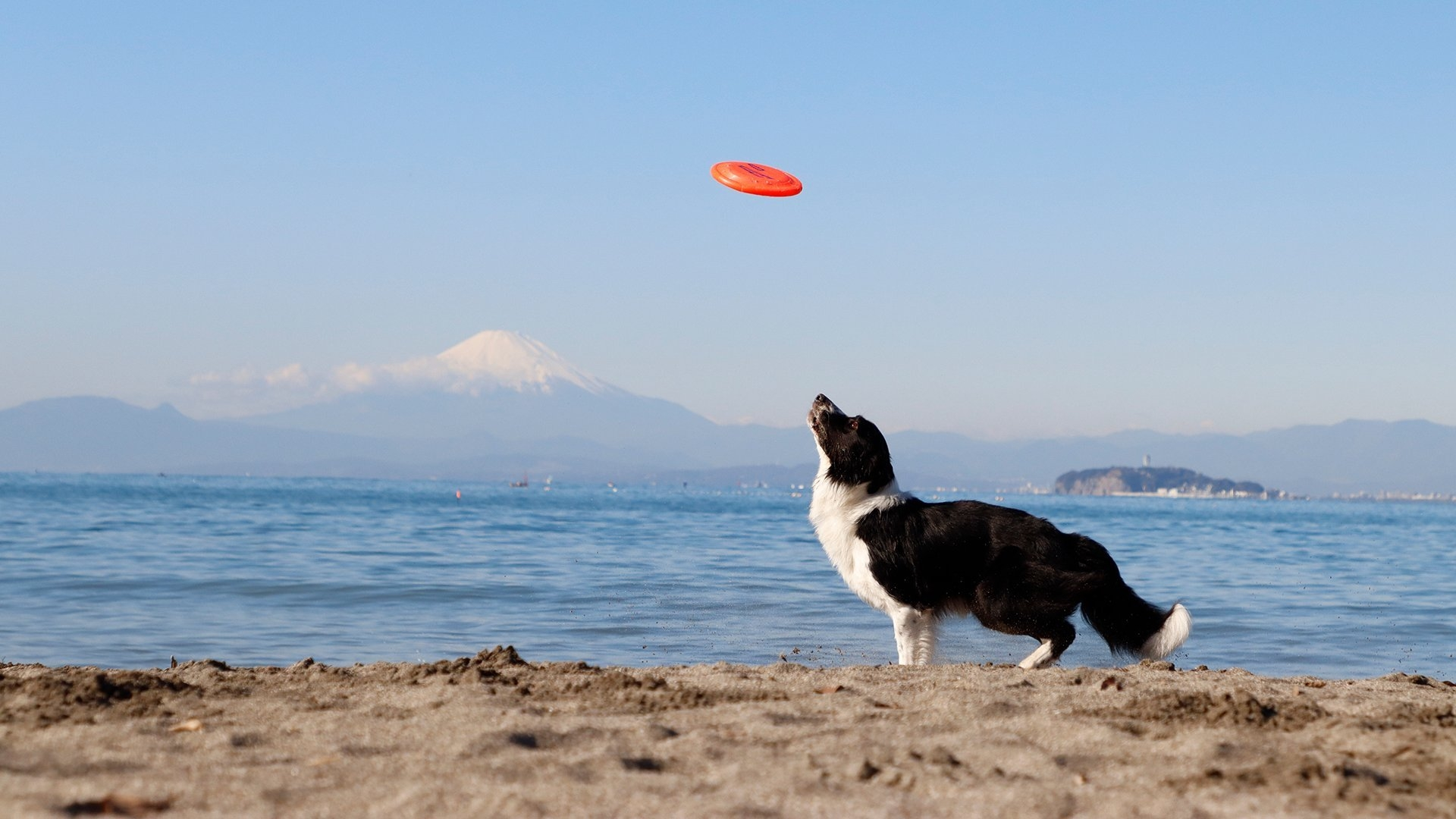 Dog about to jump for an orange Frisbee
