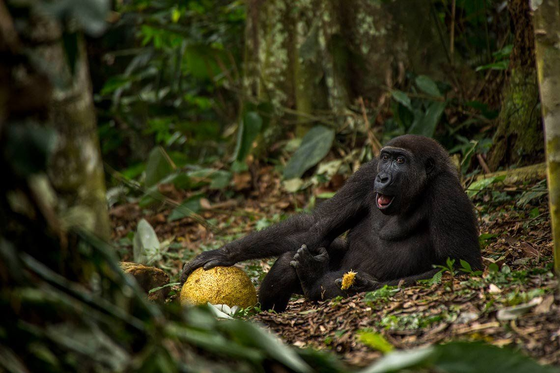 A shot of young western lowland gorilla looking towards the camera as he snacks on an African breadfruit in the jungles of The Democratic Republic of the Congo.