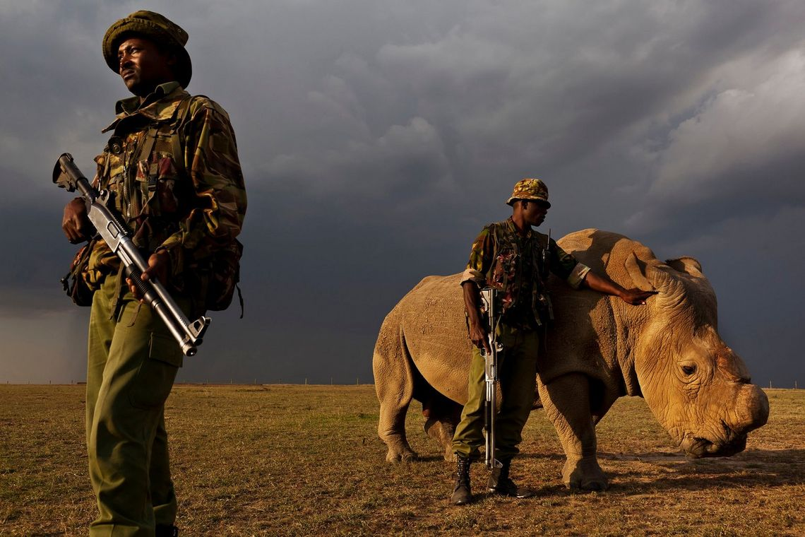 An anti-poaching team permanently guards a Northern White Rhino, who has had its horn partially cut off. With only eight remaining, it is one of the most endangered species in the world.