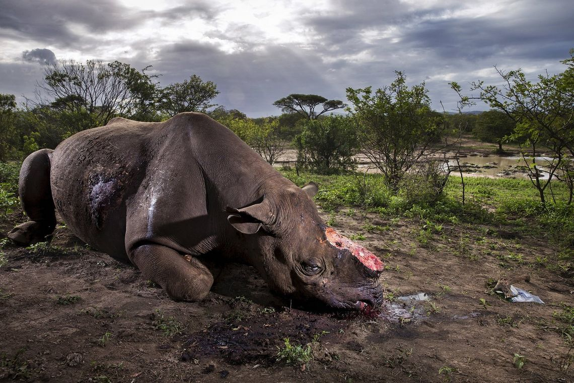 Canon Ambassador Brent Stirton's 'Memorial to a Species' – a slain black rhino with its sawn-off horns in Hluluwe-Imfolozi Park game reserve. Shot on a Canon EOS-1D X with an EF 24-70mm f/2.8L II USM lens.