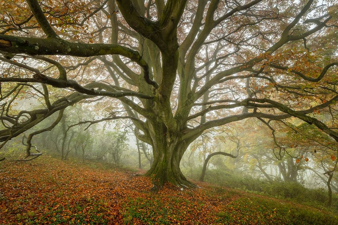 An ancient beech tree fills the frame with fallen autumn leaves on the grass below, and the horizon on a slant. Taken in November 2017 in Sherborne, Dorset on a Canon EOS 5DS R and an EF 16-35mm f/2.8L III USM lens. © David Noton