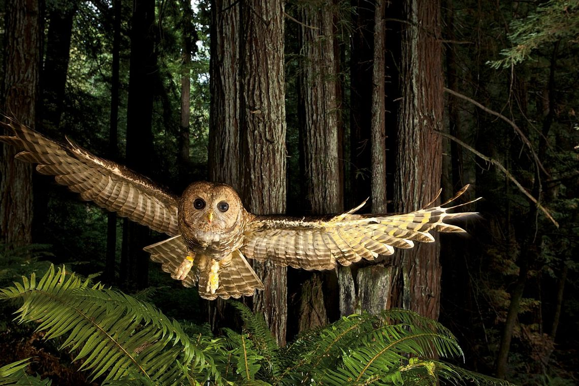 A Northern spotted owl in flight, shot by wildlife photographer Michael Nichols
