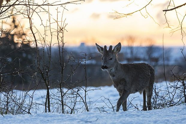 A deer surrounded by sparse trees walks through a snowy field at sunset.