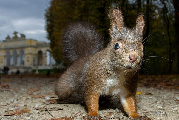 A close up shot of a red squirrel on the driveway to a stately manor in Vienna.
