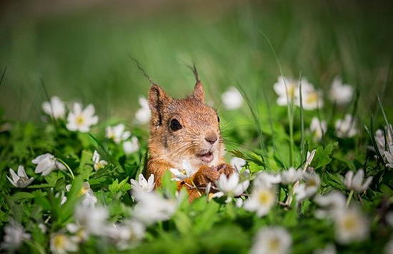 A squirrel looks up, paws in front of its body, surrounded by a field of white daisies and lush green grass up to its shoulders.
