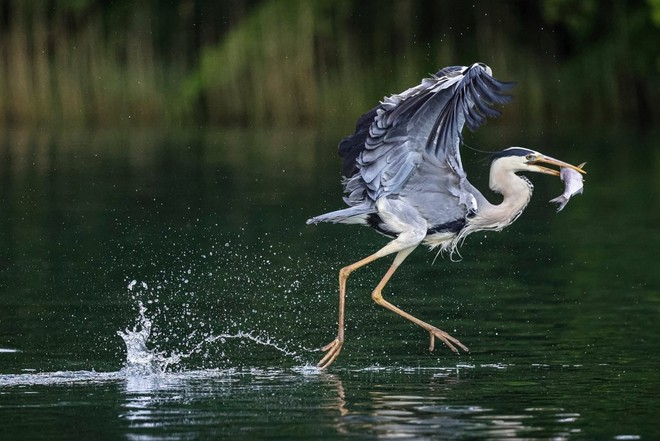 A heron with a fish in its beak, about to take flight, seems to be skipping along the surface of the water.