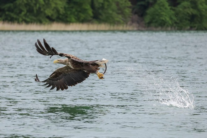 A sea eagle flying low over the surface of the water, with a fish between its talons.