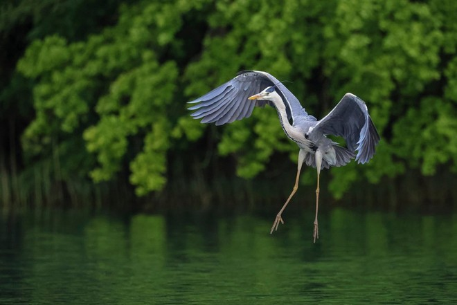 A heron frozen in motion coming in to land on the water, with its wings curved and legs outstretched.