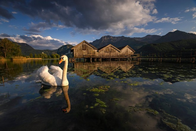 A swan swimming in front of a jetty, with the scene reflected in the still water.