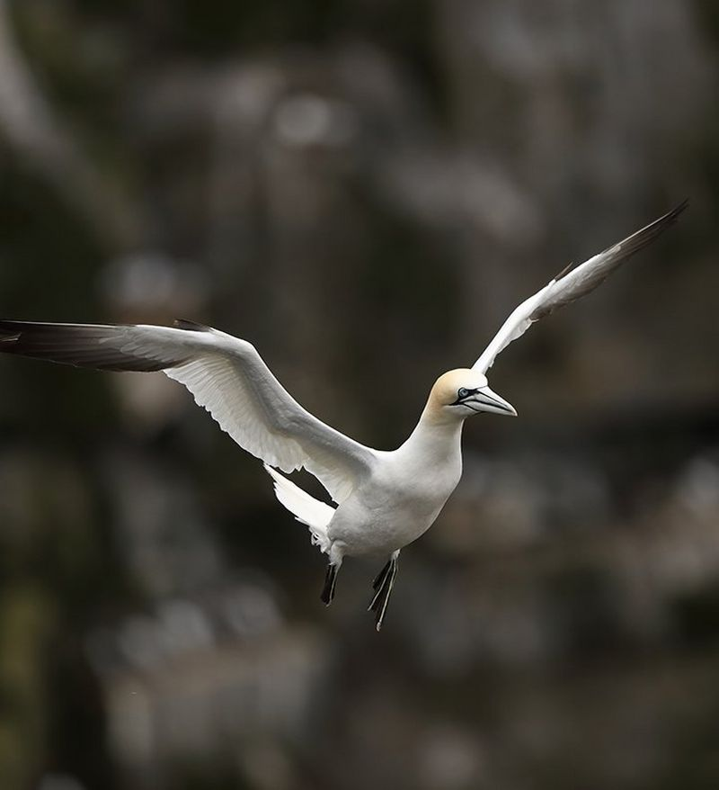 Gannet caught in mid flight with EOS 5D Mark IV