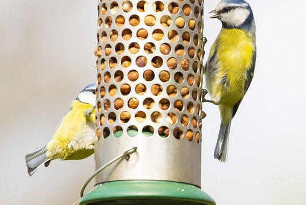 Two blue tits on a bird feeder.