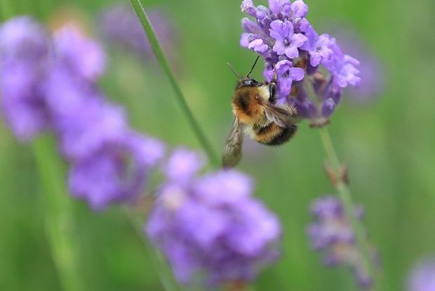 A bee on a purple flower, with the green background out of focus.