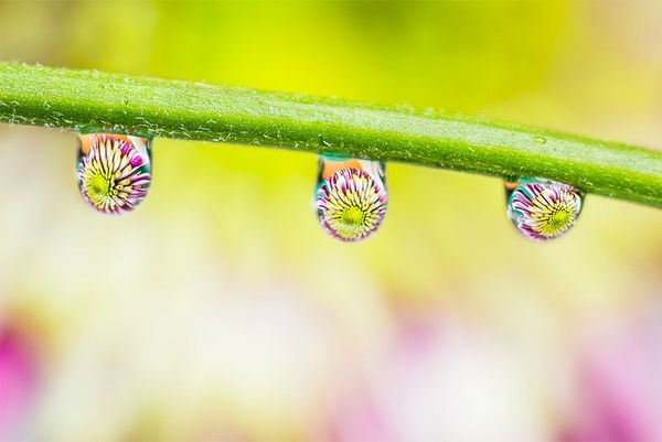 Three water droplets reflecting a flower head on a flower stem.