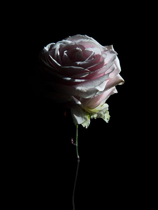 A pink rose is lit from the right-hand side of the picture, casting the other side in shadow. It's seen against a black background.