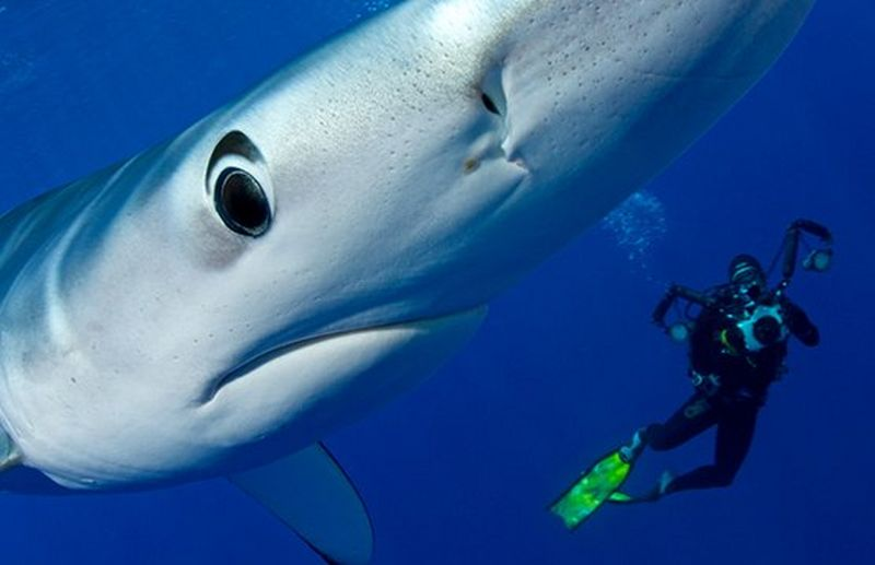 scuba diver swimming with shark
