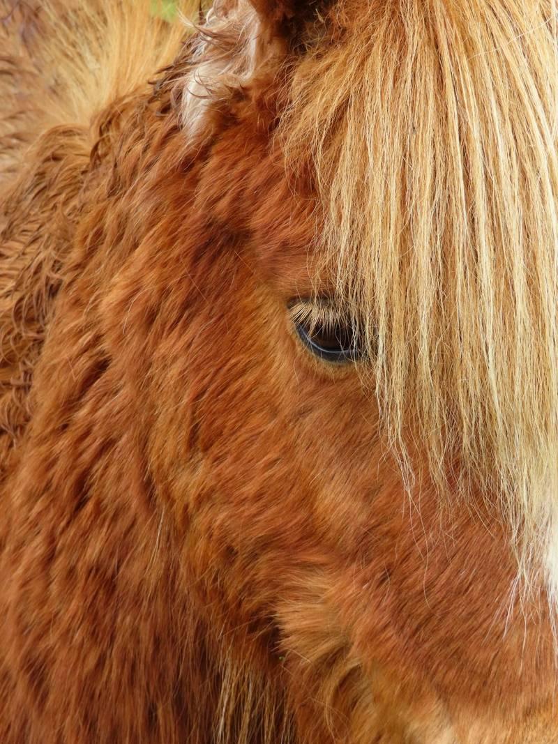 Poney Highland
