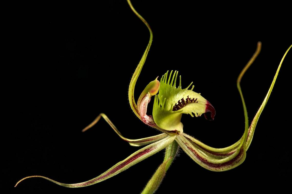 A close-up of a green splendid spider orchid hybrid.