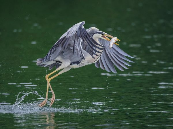 A heron frozen in motion as it rises from the water with a fish in its beak.