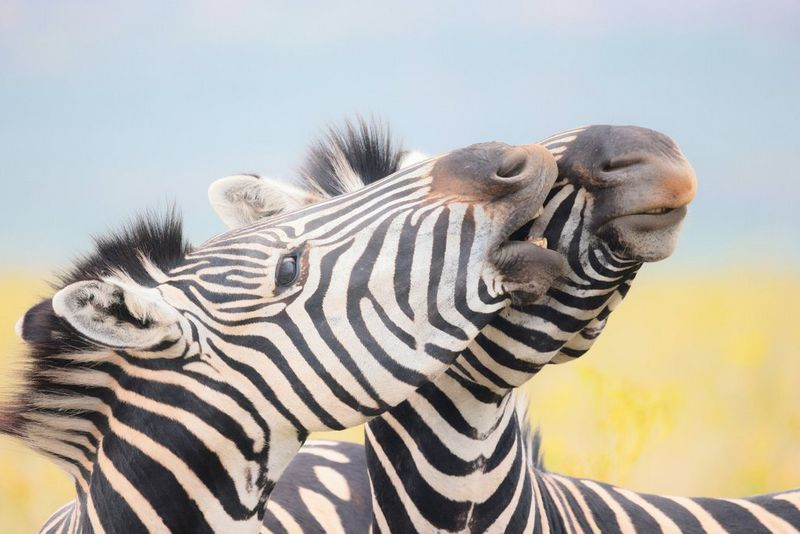 Two zebras touch noses. Taken on a Canon EOS R5.