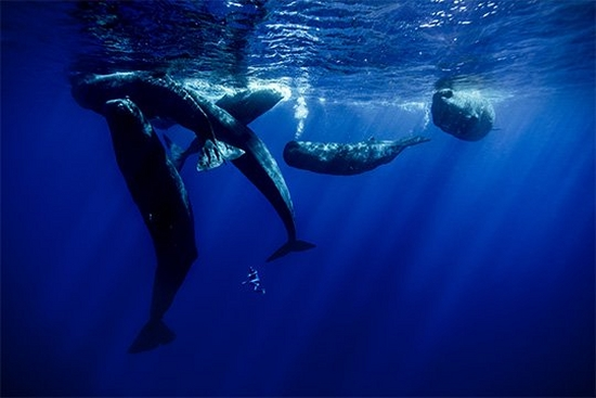 Six sperm whales surfacing for air, as freediver Guillaume Néry swims beneath them.
