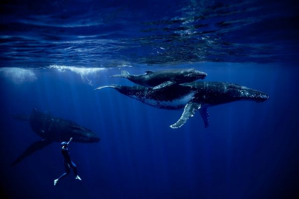 Two humpback whales and a calf swimming, with freediver Guillaume Néry metres away, in French Polynesia.