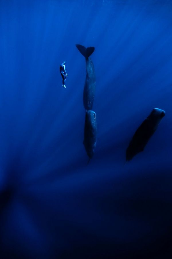 A diver next to sperm whales sleeping, floating vertically in the water.