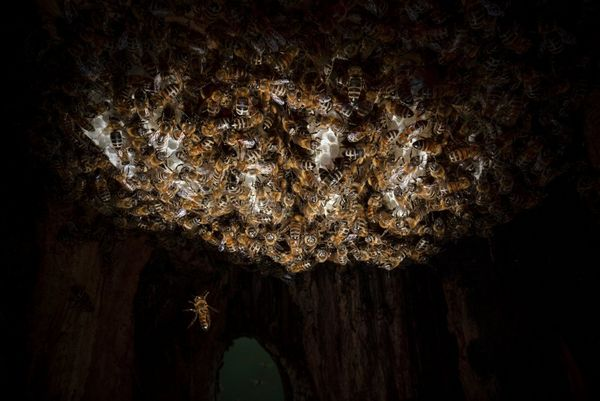 Inside a honeybee nest, a spotlight picks out a cluster of bees, with one flying away.