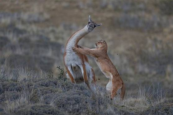 A female puma lunges at the neck of a full-grown male guanaco.