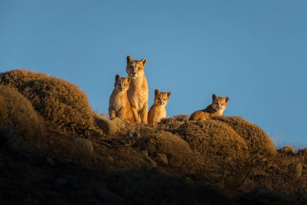 A female puma and her three cubs look down from the top of a ridge.