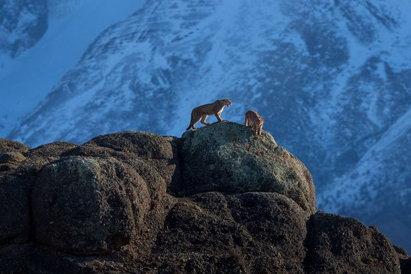 Two pumas on a mountain ridge stalk each other during a mating ritual.