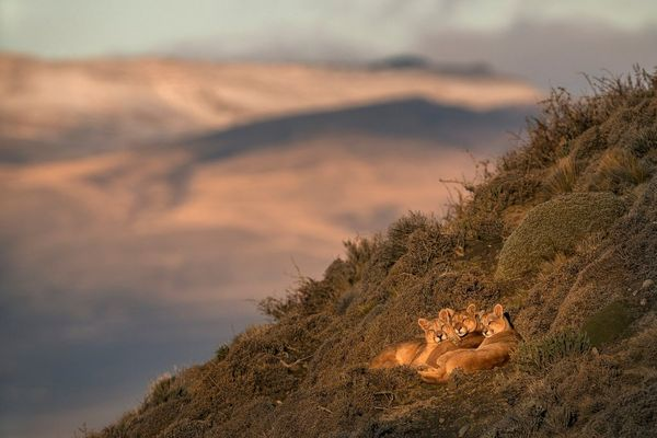 A female puma and her two cubs bask in the sunshine on a grassy mountainside.