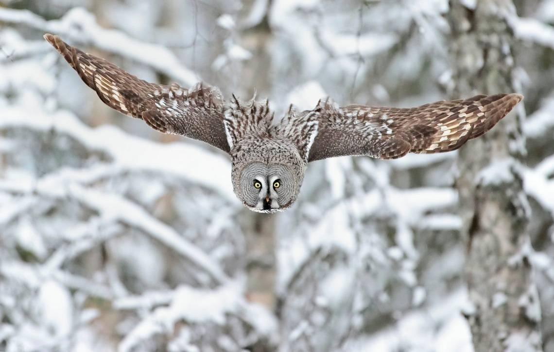 Wings outstretched, a great grey owl swoops down towards the forest floor.
