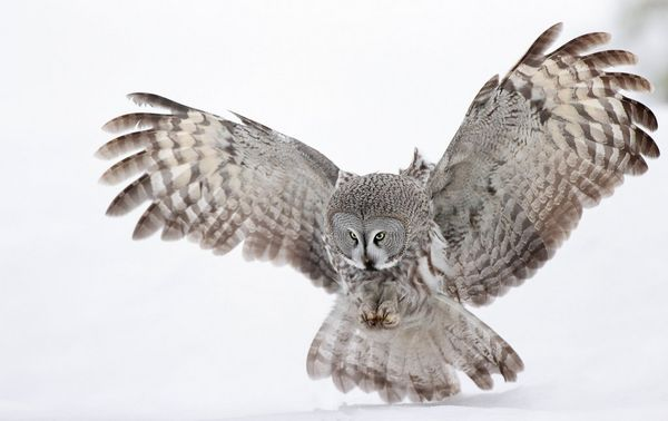 Its talons poised and ready, a great grey owl prepares to pounce.