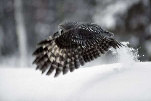 In darkening conditions, a great grey owl glides low to the ground causing snow to fly up.