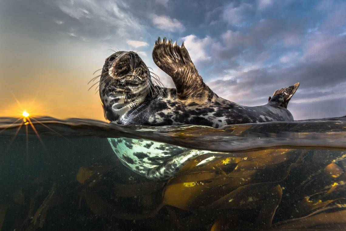 A seal emerges from the water on its back, one paw raised as if in greeting. Photo by Robert Marc Lehmann.