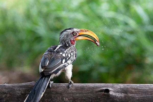 A yellow-billed hornbill standing on a log and eating an insect.
