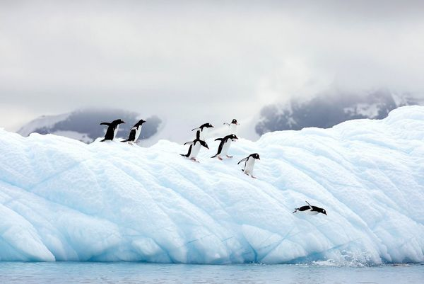 A number of penguins waddle towards the edge of an ice shelf to dive into the water.
