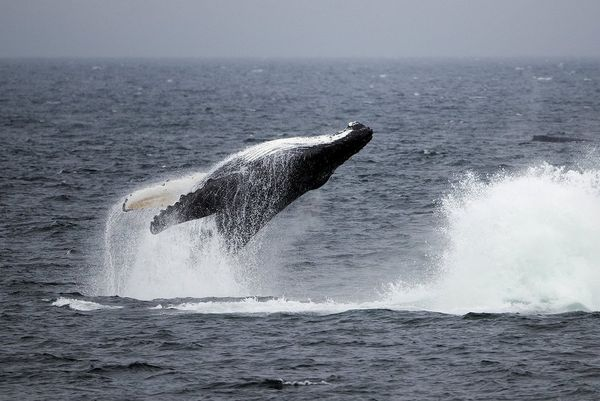 The tail of a humpback whale breaching the water, causing spray across the water.