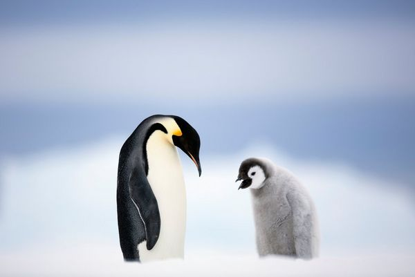 An emperor penguin standing next to a fluffy penguin chick.