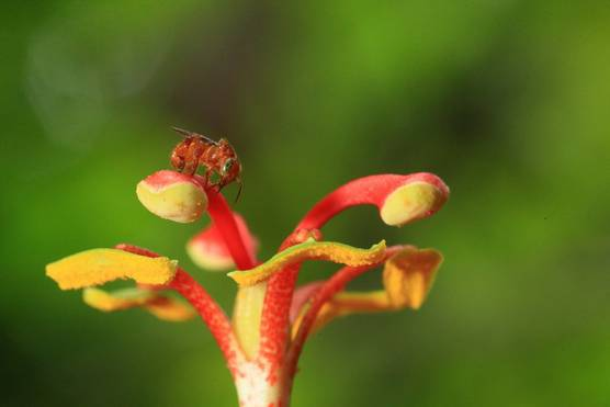 A close-up of a tiny bee with large green eyes pollinating a yellow and red passionflower.