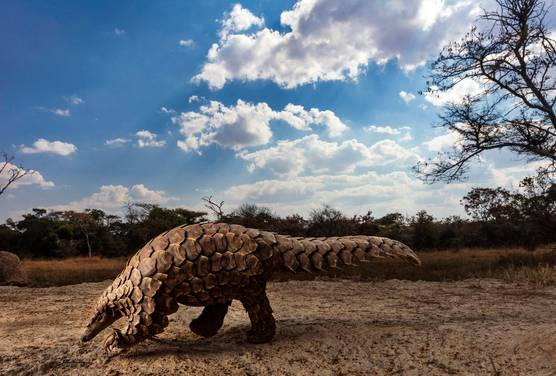 A rare pangolin walking along the ground with its tail outstretched.