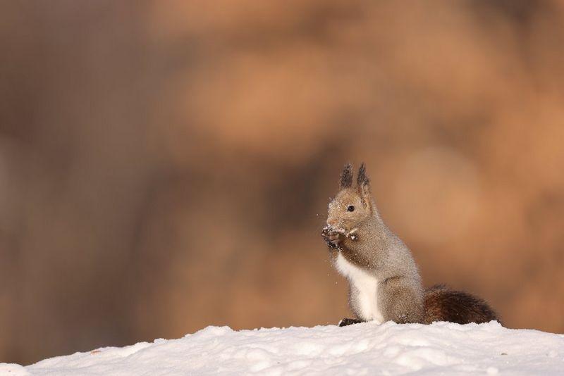 Écureuil assis sur un monticule de neige, en train de manger une noisette.