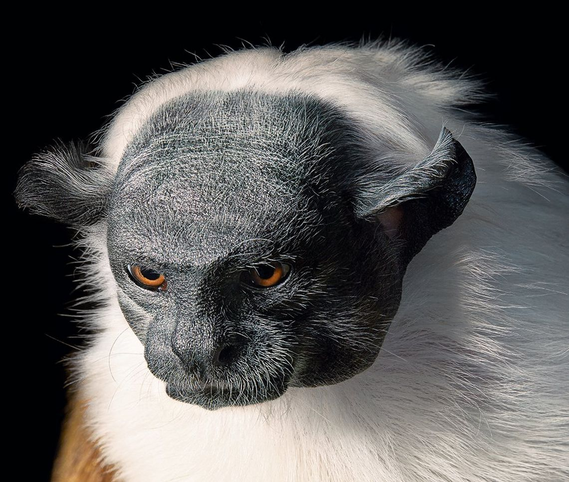 Gazing downwards, a black-faced, white-haired pied tamarin could be mistaken for an old man. Tim Flach shot the primate against his trademark black background.