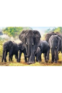 1000 Piece Wild Elephants