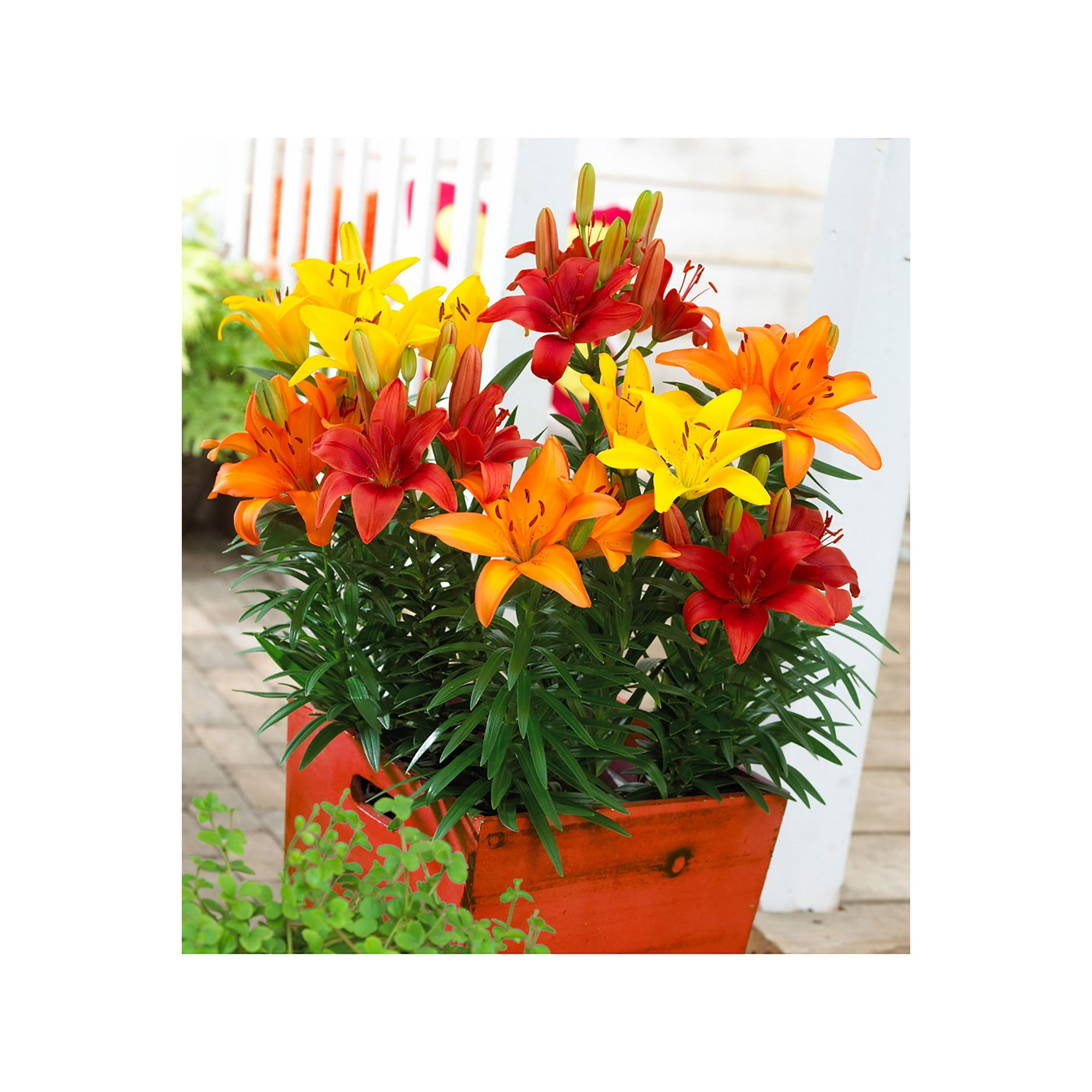 Image of 25 Longiflorum Asiatic LA Lily Bulbs